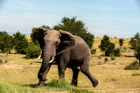 Charging African Elephant