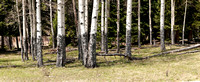 Panorama of Elk Scarred Aspen Grove