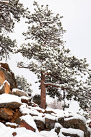 Snow on Pine in Rocky Mountain National Park