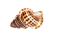 Closeup of Isolated Sea Shell on White Background