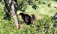 Eaglets in the Nest 2