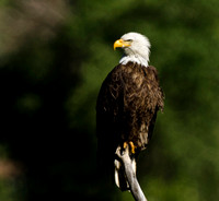 Bald Eagle Perched in Dead Tree