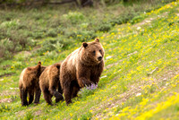 Female Grizzly Bear and Two One Year Old Cubs
