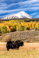Yaks Grazing in a Fiels in the Fall