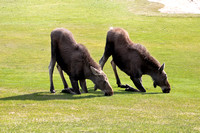 Moose Calves on The Raven Golf Course