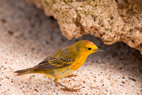 Yellow Warbler in the Galapagos