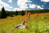Wildflowers in the Rocky Mountains