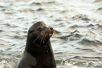 Mature Sea Lion in the Galapagos
