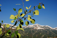 Aspen Leaves in the Spring