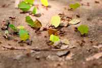 Leaf-Cutter Ants in the Amazon Jungle