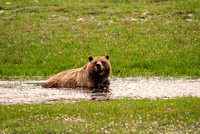 Grizzly Cooling Off in a Stream