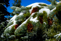 Snow on Pine Boughs
