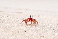 Ghost Crab on the Island of San Cristobal in the Galapagos