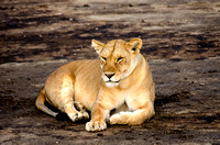 Lioness Resting on the Sand