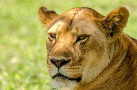Closeup of Female Lion, Tanzania, Africa