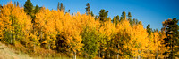 Panorama of a Hillside Filled with Golden Aspen in Colorado