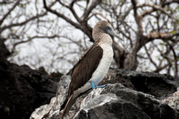 Blue Footed Boobie on San Cristobal in the Galapagos