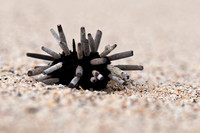 Pencil Urchin in the Galapagos