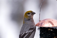 Pine Grosbeak on Feeder