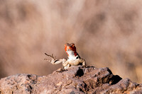Lava Lizard in the Galapagos
