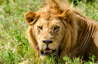 Male Lion in the Grass, Tanzania, Africa