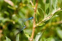 Dragon Flies on a Willow Branch