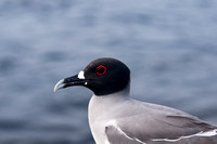 Swallow-Tailed Gull in the Galapagos