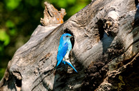 Male Mountain Bluebird at Nest with Food