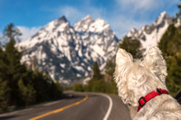 Westie Enjoyin Teton National Park, Wyoming