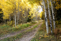 Fall Aspens in Silverthorne, Colorado