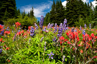 Lupine and Indian Paintbrush in Colorado