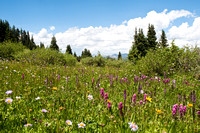 Meadow of Wildflowers in Colorado