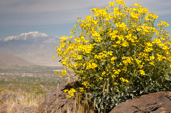 Creative peaks photography palm springs california yellow yellow desert flowers in palm springs california mightylinksfo Images