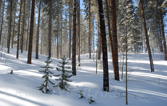Winter in a Pine Forest