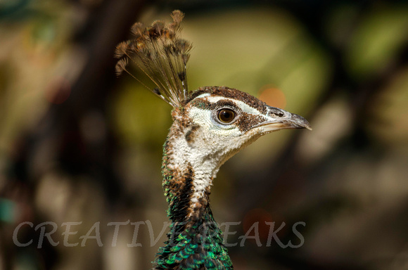 Closeup Profile of Peacock Female, (Hen)