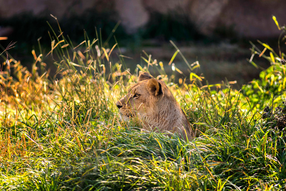 Young Lioness in the Grass