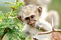 Immature Vervet Monkey Eating