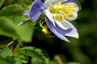 Yellow Spider on an Columbine Petal