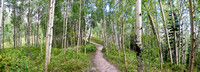Panorama of Aspen Tree Forest.