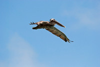 Pelican in Flight in the Galapagos