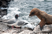 Swallow-Tailed Gull & Sea Lion