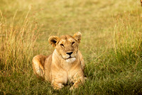 Lioness in the Grass in Tanzania, Africa