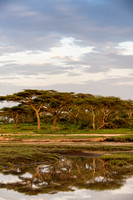 Morning Light on Acacia Trees with Reflection