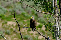 Eagles at Green Mountain Reservoir June 2013