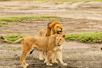 Lion and Lioness Just Prior to Mating