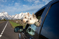 Two Westies Enjoying Teton National Park in Wyoming